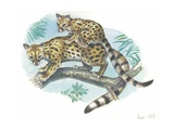 Cape Genet Genetta Tigrina with Young on Back, Illustration Print