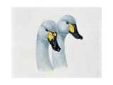 Close-Up of Two Bewick's Swans Mating (Cygnus Columbianus Bewickii) Posters