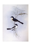 Restless Flycatcher (Myiagra Inquieta), Engraving by John Gould Art