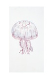 Saucer Jelly (Aurelia Aurita), Illustration Art