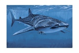 Whale Shark Swimming Underwater (Rhincodon Typus) Prints