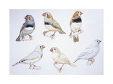 Birds: Passeriformes, Zebra Finch: Grey, Black Chest, Marble, Yellow and Silver Prints