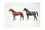Oldenburg Horse and Trakehner Horse (Equus Caballus), Illustration Print