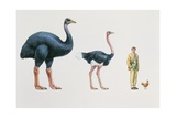 Ostrich (Struthio Camelus) and Elephant Bird (Aepyornis) with a Man and Hen in a Row Posters