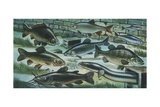 Freshwater Fishes in River, Illustration Poster