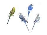 Budgerigars (Melopsittacus Undulatus) in Different Colours: Green, Purple, Blue and Grey Prints