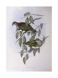 Superb Fruit-Dove (Ptilinopus Superbus), Engraving by John Gould Prints