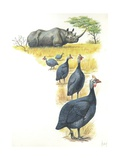 Helmeted Guineafowls Numida Meleagris in Savannah, Illustration Posters