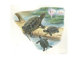 European Pond Turtle Emys Orbicularis, Illustration Prints