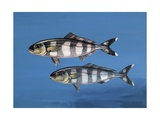 Close-Up of Two Pilot Fish Underwater (Naucrates Ductor) Prints