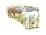 Alpaca Vicugna Pacos with Young, Illustration Kunst