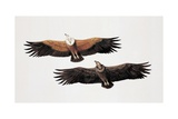 Two Griffon Vultures (Gyps Fulvus) Poster