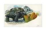 Giant Tortoise Eating Cactus, Illustration Prints