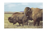 American Bison (Bison Bison), Illustration Posters