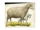 Sheep and Lamb Ovis Aries, Illustration Prints