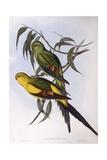 Regent Parrot (Polytelis Anthopeplus), Engraving by John Gould Prints