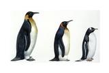 Birds: Sphenisciformes, Emperor Penguin, King Penguin, Gentoo Penguin Prints