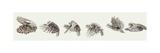 Pallid Harrier , Montagu's Harrier , Hen Harrier, Western Marsh Harrier Prints