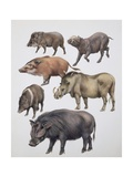 Family of Wild Boars Reprodukcje