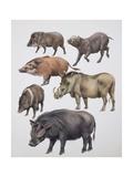 Family of Wild Boars Prints