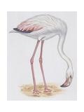 Zoology: Birds, Greater Flamingo (Phoenicopterus Roseus), Illustration Print