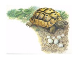 Hermann's Tortoise Testudo Hermanni with its Eggs, Illustration Print