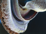 Ear, Cochlea under Microscope Fotodruck