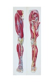 Illustration of Lower Limb, Skeletal Muscles, Front and Back Views Giclee Print