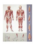Musculoskeletal (Locomotor) System, Muscles, Drawing Giclee Print