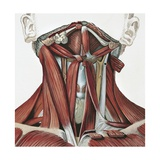 Illustration of Human Neck Muscles Giclee Print