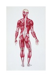 Illustration of Human Muscular System Giclee Print
