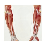 Musculoskeletal (Locomotor) System, Forearm Skeleton, Drawing Giclee Print