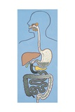 Digestive System, Digestion Phases, Drawing Giclee Print