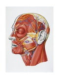 Illustration Showing Muscular System of Human Head Giclee Print