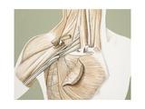 Medicine: Human Body, Brachial Plexus, Illustration Giclee Print