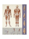 Medicine: Muscle System, Locomotor Apparatus, Illustration Giclee Print