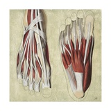Illustration of Human Foot Muscles Giclee Print