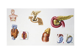 Illustration Showing Parts of Endocrine System Giclee Print