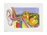 Auditory System, Section Drawing Giclée-Druck