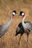 A Pair of Grey Crowned Cranes, Balearica Regulorum Gibbericeps Photographic Print by Joe Petersburger