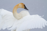 Portrait of a Trumpeter Swan with Outstretched Wings Photographic Print by Greg Winston
