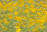 Sunflowers in Flagstaff, Arizona Fotografisk tryk af John Burcham