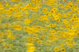 Sunflowers in Flagstaff, Arizona Photographic Print by John Burcham