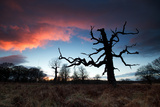 A Dead Tree in the Sunset in Richmond Park, London Photographic Print by Alex Saberi