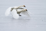 A Pair of Trumpeter Swans Taking Off on a Frozen Creek Photographic Print by Greg Winston