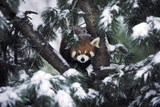 A Red Panda in the Central Park Zoo Photographic Print by Kike Calvo