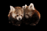 Three-month Old Red Pandas, Ailurus Fulgens Fulgens Photographic Print by Joel Sartore