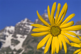 Aspen Sunflower, Helianthella Quinquenervis, in a Meadow at Maroon Lake Photographic Print by David Hiser