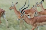 A Herd of Impalas, Aepyceros Melampus, on the Move Photographic Print by Joe Petersburger