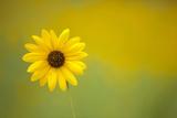 One Sunflower in Flagstaff, Arizona Fotografisk tryk af John Burcham